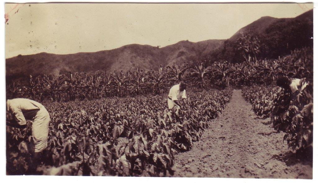 fiji agriculture